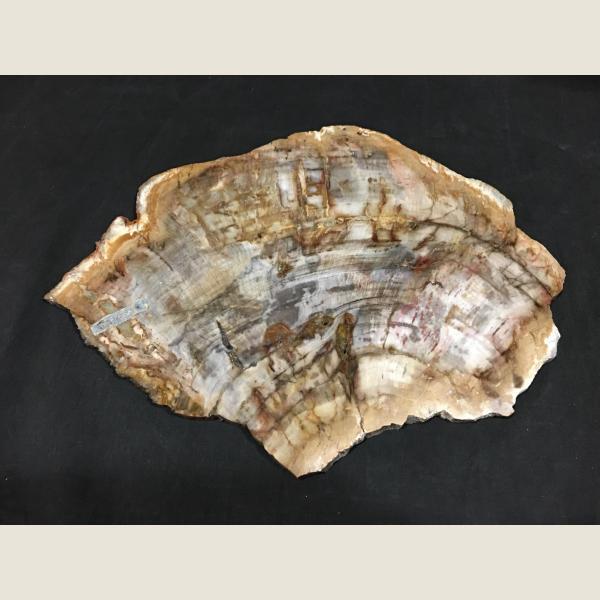 Large Slice of Petrified Wood