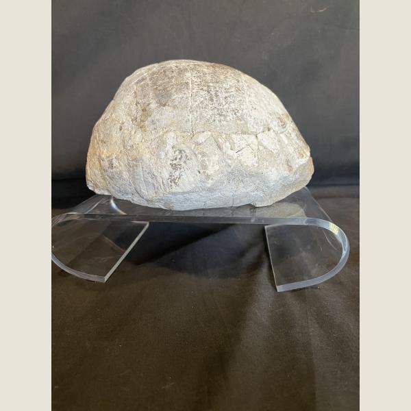 Pre-Historic Fossilized Turtle