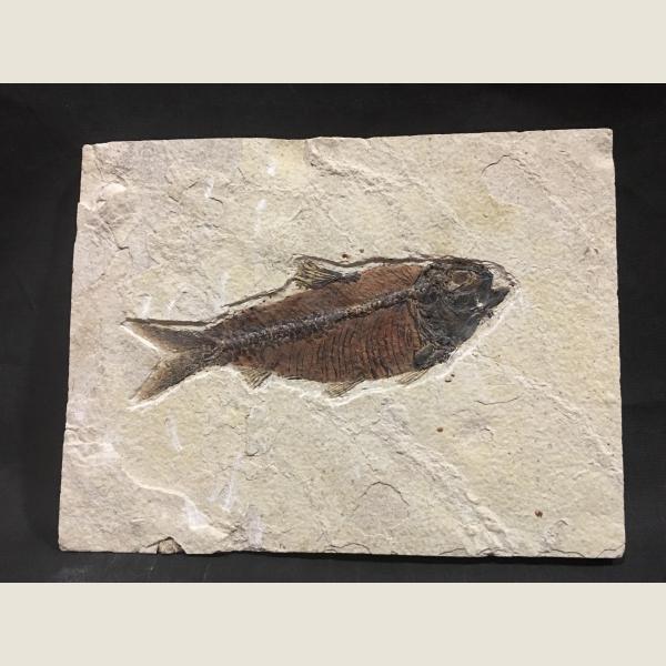 Pre-Historic Fish Fossil