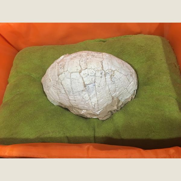 Pre-Historic Turtle Fossil
