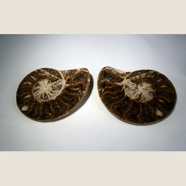 Pre-Historic Ammonite Fossil