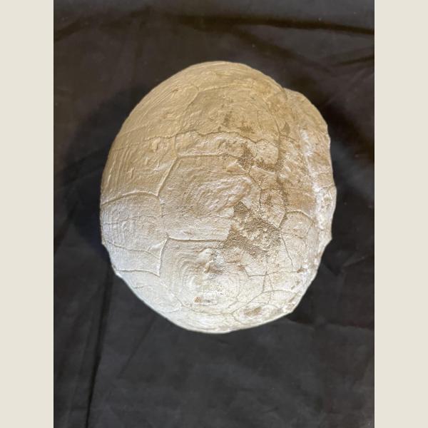 Prehistoric Fossilized Turtle
